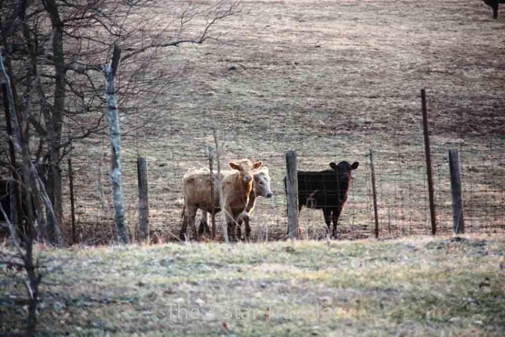 Kentucky Beef Cattle   The 3 Star Traveler