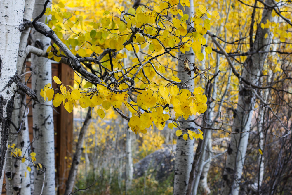 The Aspens During Fall in Lake Tahoe | The 3 Star Traveler