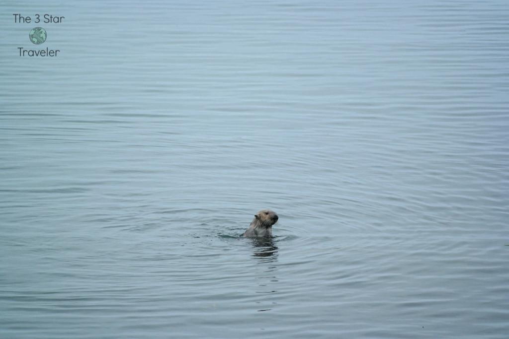 Sea otter swimming in Morro Bay | The 3 Star Traveler