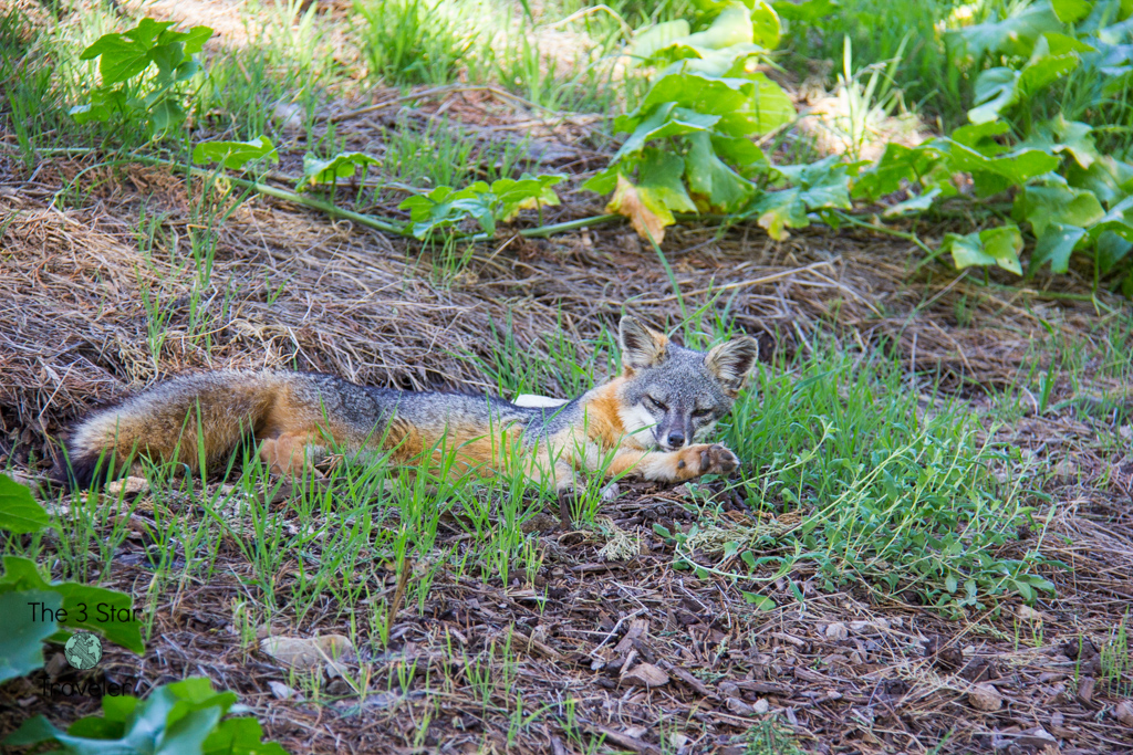 Island Fox on Santa Cruz Island | National Parks Tips | The 3 Star Traveler