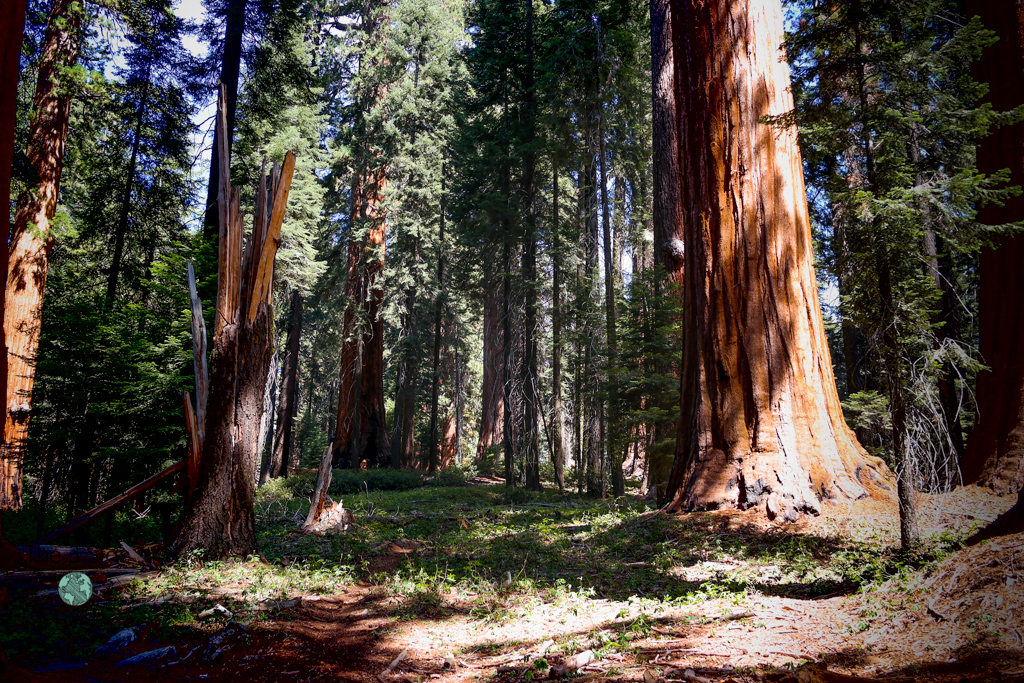 Muir Grove | Sequoia National Park | National Parks Tips | The 3 Star Traveler