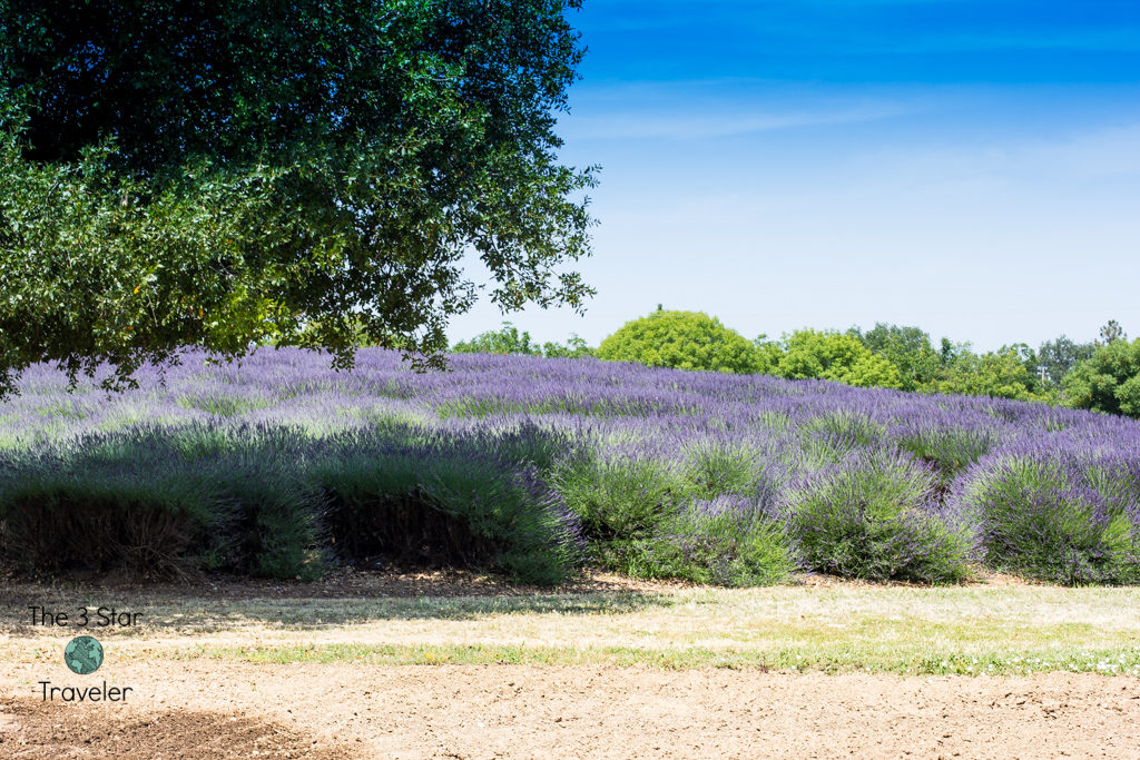 The Lavender Ranch in California | Chico Road Trip | The 3 Star Traveler